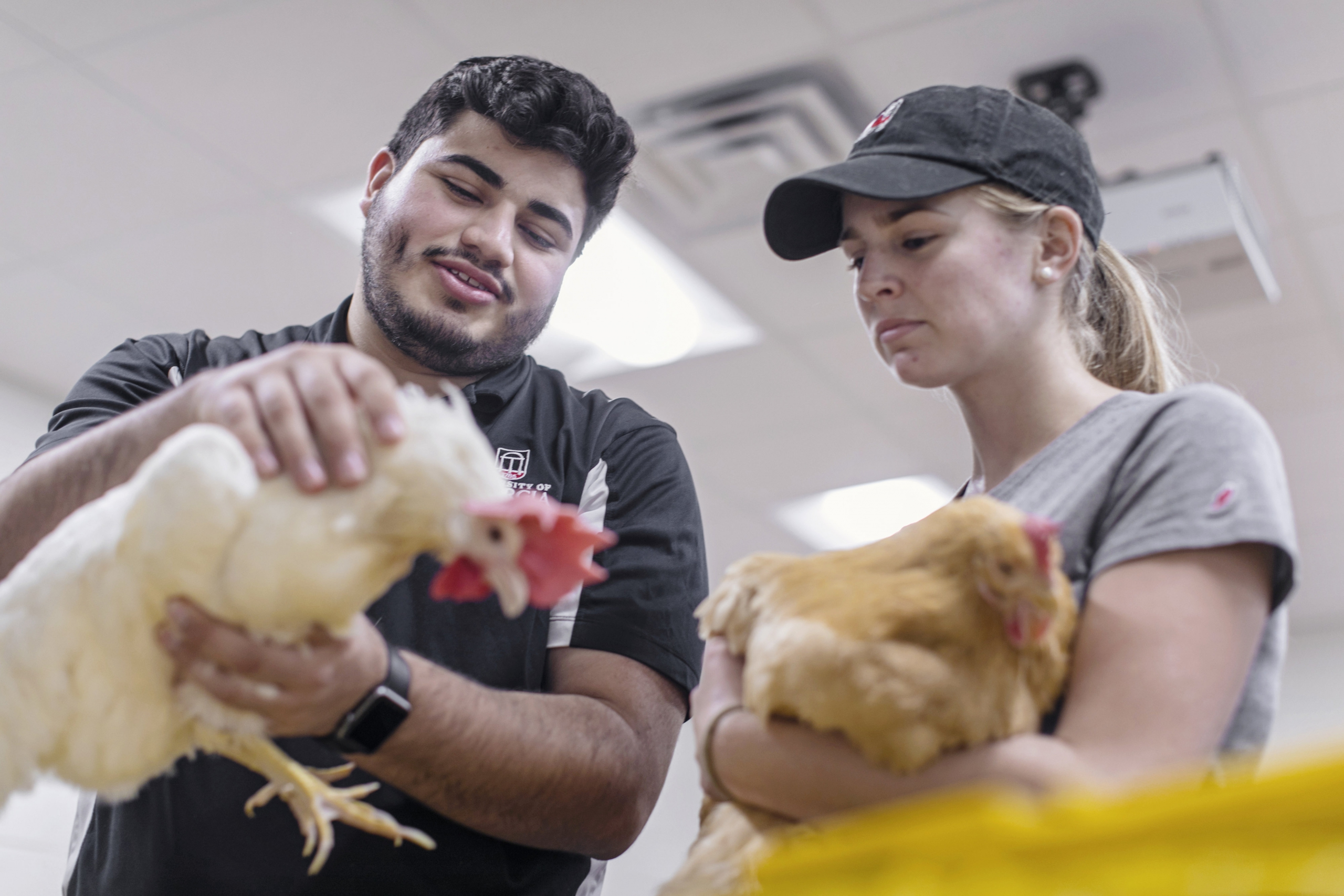 Poultry Science students work with chickens